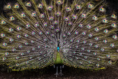 Ζωηρόχρωμο peacock στοκ εικόνες με δικαίωμα ελεύθερης χρήσης