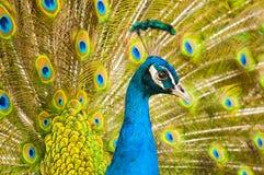 Ζωηρόχρωμο Peacock Στοκ εικόνα με δικαίωμα ελεύθερης χρήσης