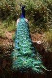 ζωηρόχρωμο pfau paco peacock Στοκ εικόνα με δικαίωμα ελεύθερης χρήσης