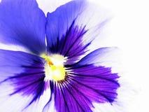 ζωηρόχρωμο viola στοκ εικόνες με δικαίωμα ελεύθερης χρήσης