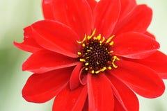 Ζωηρό ενιαίο κόκκινο λουλούδι Στοκ φωτογραφία με δικαίωμα ελεύθερης χρήσης