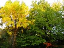 Ζωηρό κίτρινο και πράσινο φύλλωμα πτώσης στο δημόσιο πάρκο Στοκ Εικόνες