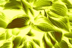 Ζωηρό σχέδιο φύλλων ελιών πράσινο Στοκ εικόνα με δικαίωμα ελεύθερης χρήσης