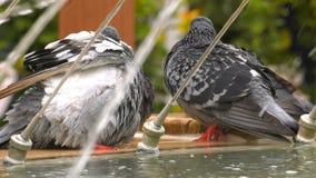 Ζωικά περιστέρια περιστεριών πουλιών κοντά στη λίμνη νερού πηγών απόθεμα βίντεο