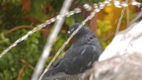 Ζωικά περιστέρια περιστεριών πουλιών κοντά στη λίμνη νερού πηγών φιλμ μικρού μήκους