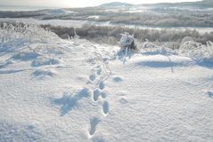 Ζωικές διαδρομές ποδιών αλεπούδων στο χιόνι στοκ εικόνα