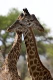 ζωικές εθνικές άγρια περιοχές serengeti πάρκων της Αφρικής Στοκ φωτογραφία με δικαίωμα ελεύθερης χρήσης