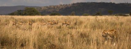 ζωικές εθνικές άγρια περιοχές serengeti πάρκων της Αφρικής Στοκ εικόνα με δικαίωμα ελεύθερης χρήσης