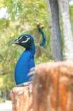 Ζωική έννοια κατοικίδιων ζώων δέντρων κλουβιών ελευθερίας πουλιών Peacock Στοκ Φωτογραφία