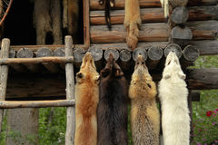 Ζωική ένωση γουνών στοκ φωτογραφίες με δικαίωμα ελεύθερης χρήσης