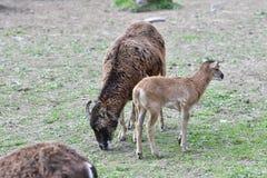 Ζωική αγάπη της μητέρας mouflon με λίγο αρνί που βόσκει τη χλόη Στοκ Φωτογραφία