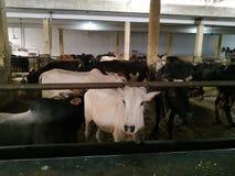 Ζωική αθώα σταθερή φροντίδα αγελάδων χαριτωμένη στοκ φωτογραφία