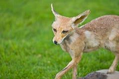 ζωική αλεπού Στοκ εικόνες με δικαίωμα ελεύθερης χρήσης