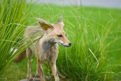 ζωική αλεπού Στοκ Εικόνες