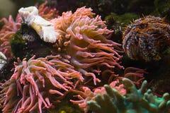 ζωική αρπακτική θάλασσα anemone Στοκ Εικόνα