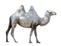 Ζωική βακτριανή καμήλα Στοκ Εικόνες