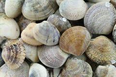 ζωική θάλασσα του RIDGED ΜΑΛΑΚΙΟΥ της ΑΦΡΟΔΙΤΗΣ Στοκ φωτογραφία με δικαίωμα ελεύθερης χρήσης