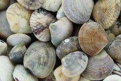 ζωική θάλασσα του RIDGED ΜΑΛΑΚΙΟΥ της ΑΦΡΟΔΙΤΗΣ Στοκ Εικόνες