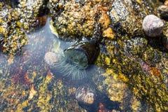 Ζωική θάλασσα Anemone Στοκ Εικόνες