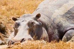 ζωική να βρεθεί hippo λάσπη Στοκ φωτογραφία με δικαίωμα ελεύθερης χρήσης