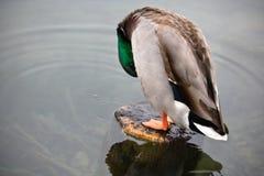 Ζωική πάπια πρασινολαιμών άγριας φύσης χαριτωμένη αρσενική που καθαρίζεται Στοκ φωτογραφία με δικαίωμα ελεύθερης χρήσης