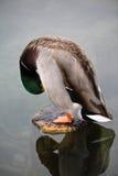 Ζωική πάπια πρασινολαιμών άγριας φύσης χαριτωμένη αρσενική που καθαρίζεται Στοκ Φωτογραφία