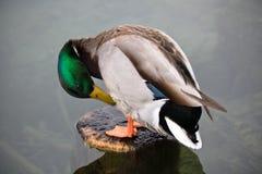 Ζωική πάπια πρασινολαιμών άγριας φύσης χαριτωμένη αρσενική που καθαρίζεται Στοκ εικόνες με δικαίωμα ελεύθερης χρήσης