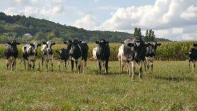 Ζωική σίτιση, έννοια καλλιέργειας eco Υπαίθρια πορτρέτο του κοπαδιού των γραπτών αγελάδων που τρώνε την πράσινη χλόη φιλμ μικρού μήκους