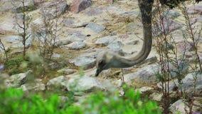 Ζωική στρουθοκάμηλος πουλιών κοντά στον κολπίσκο φιλμ μικρού μήκους