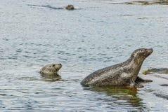 Ζωική σφραγίδα άγριας φύσης στη θάλασσα Στοκ φωτογραφία με δικαίωμα ελεύθερης χρήσης