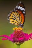 Πεταλούδα με το λουλούδι Στοκ Εικόνα