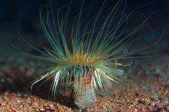 Ζωική υποβρύχια φωτογραφία ακτινίου Στοκ εικόνες με δικαίωμα ελεύθερης χρήσης