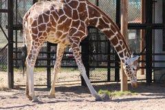 Ζωική ψηλή Giraffe κινηματογράφηση σε πρώτο πλάνο ζωολογικών κήπων στοκ εικόνα