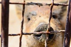 Ζωικός κόκκινος χοίρος στοκ φωτογραφίες με δικαίωμα ελεύθερης χρήσης