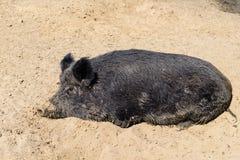 Ζωικός μαύρος χοίρος στοκ φωτογραφίες