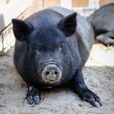 Ζωικός μαύρος χοίρος στοκ εικόνα με δικαίωμα ελεύθερης χρήσης