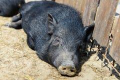 Ζωικός μαύρος χοίρος στοκ φωτογραφίες με δικαίωμα ελεύθερης χρήσης
