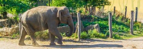 Ζωικός μεγάλος γκρίζος ελέφαντας πορτρέτου που περπατά στην άποψη κορμών και προσώπου άμμου στοκ εικόνες