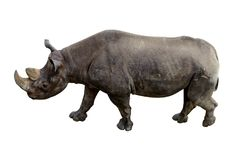 Ζωικός ρινόκερος με έναν μεγάλο χαυλιόδοντα που απομονώνεται σε ένα άσπρο υπόβαθρο στοκ εικόνες