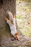 Ζωικός σκίουρος θηλαστικών Στοκ Εικόνες