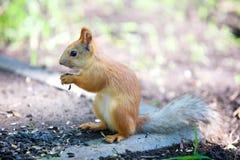 Ζωικός σκίουρος θηλαστικών Στοκ Φωτογραφία
