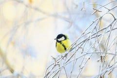 Ζωικός χαριτωμένος λίγη συνεδρίαση πουλιών chickadee στους κλάδους των δέντρων σημύδων που καλύπτονται με τον παγετό σε ένα χειμε στοκ εικόνες