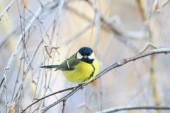 Ζωικός chubby χαριτωμένος λίγη συνεδρίαση πουλιών chickadee στους κλάδους των δέντρων σημύδων που καλύπτονται με τον παγετό σε έν στοκ φωτογραφία