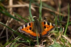 Ζωικό έντομο φύσης πεταλούδων Στοκ Εικόνες