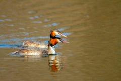 Ζωικό ζευγάρι του άγριου cristatus Podiceps πουλιών που επιπλέει στο νερό Στοκ Εικόνες