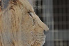 ζωικό λιοντάρι που φαίνεται άγρια περιοχές θηραμάτων Αρπακτική γάτα Στοκ Εικόνες