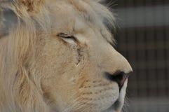 ζωικό λιοντάρι που φαίνεται άγρια περιοχές θηραμάτων Αρπακτική γάτα Στοκ Φωτογραφίες