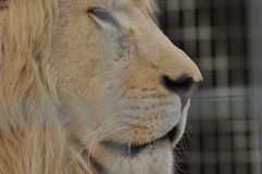 ζωικό λιοντάρι που φαίνεται άγρια περιοχές θηραμάτων Αρπακτική γάτα Στοκ φωτογραφία με δικαίωμα ελεύθερης χρήσης