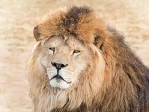 ζωικό λιοντάρι που φαίνεται άγρια περιοχές θηραμάτων Στοκ Εικόνες