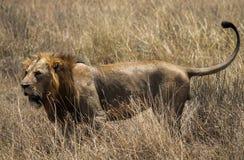 ζωικό λιοντάρι που φαίνεται άγρια περιοχές θηραμάτων Στοκ φωτογραφία με δικαίωμα ελεύθερης χρήσης